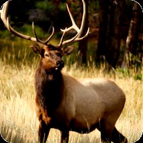 Elk Hunting Calls Free