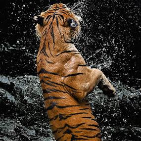 GangNam Style by Joel Mochammad - Animals Lions, Tigers & Big Cats