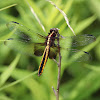 Widow Skimmer Dragonfly (Female)