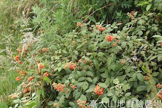 Photo: 拍攝地點: 翠峰-三角峰步道  拍攝植物: 白絨懸鉤子  拍攝日期:2012_07_30_FY