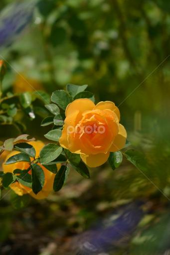 Yellow rose of texas single flower flowers pixoto yellow rose of texas by rhonda kay flowers single flower mightylinksfo