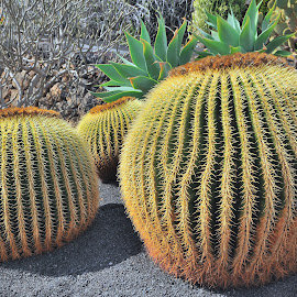 Marther in Law's Cushion by Tomasz Budziak - Nature Up Close Other plants ( spain, nature up close, cactus )