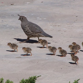 Mama Quail & hatchlings by Cindy Carter - Animals Birds