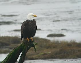 Photo: Bald Eagle, Boundary Bay, B.C.