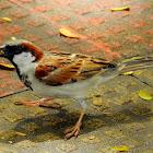House sparrow- Male
