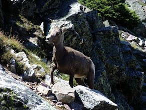 Photo: Young big horn who wanted to share the trail
