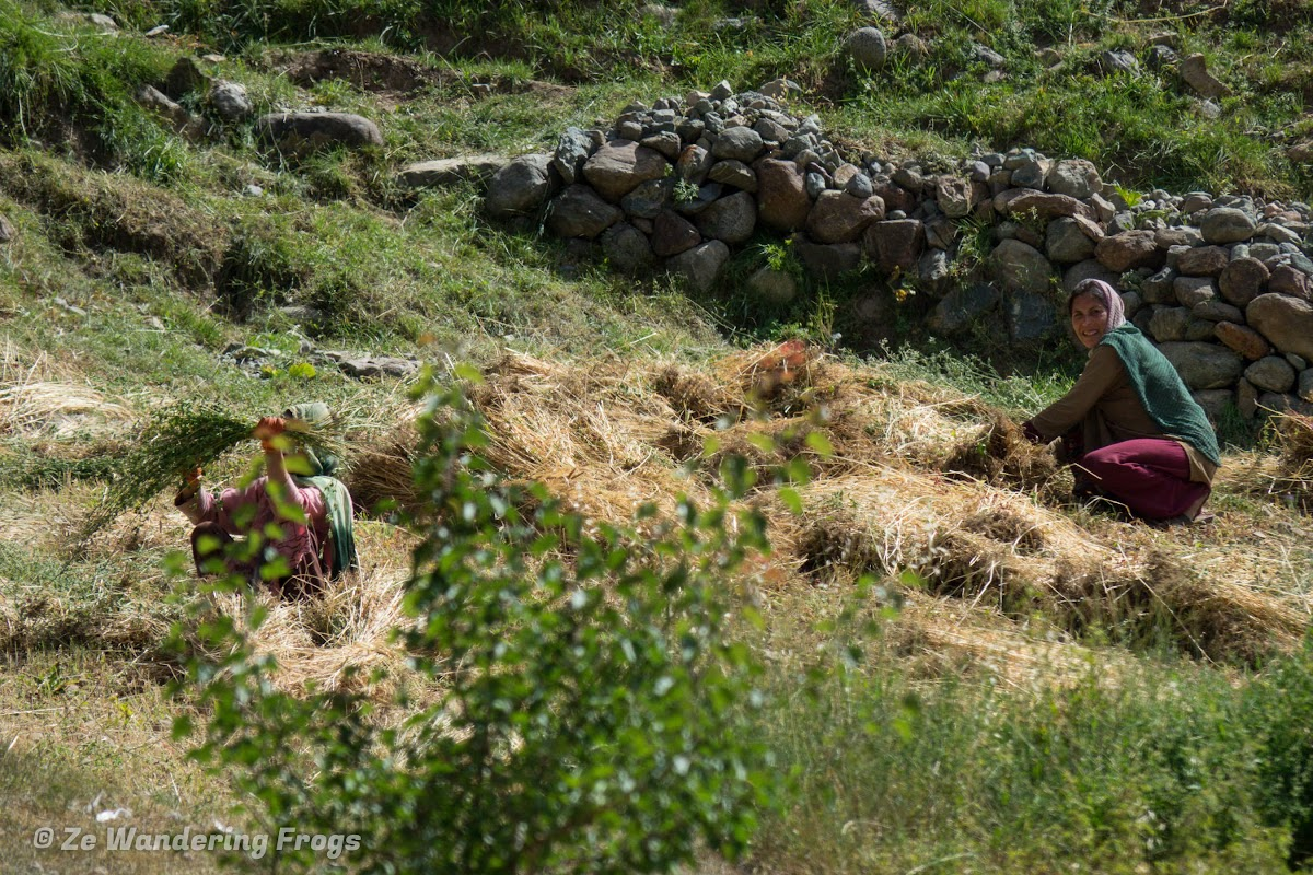 Pakistan Culture of the Kalash Valley Pakistan // Pakistani women harvesting the wheat fields