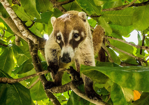 belize.jpg - A critter in a tree in Belize. Anyone know what this creature is?