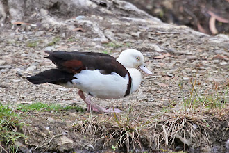 Photo: Radjah Shelduck