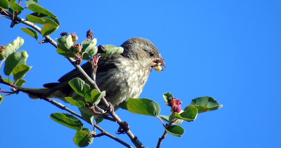 MOUTHFUL OF BERRIES by Cynthia Dodd - Novices Only Wildlife ( bird, animals, sky, tree, wings, beautiful, eating, wildlife, feathers, tree tops, berries )