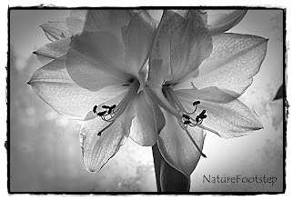 Photo: NF Photo 110101 sv amaryllis (Black and White weekend) http://nfbild2.blogspot.se/2012/07/ljussatt-amaryllis-lighted-amaryllis.html