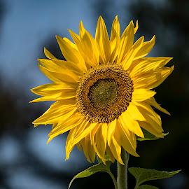 Sunflower by Ron Biedenbach - Flowers Single Flower ( sunflower, yellow, close up, flower,  )