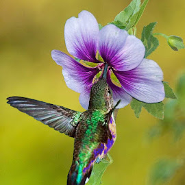 Hummingbird Feeding by William Kauffman - Nature Up Close Other Natural Objects ( wildflower, hummingbird, bird, purple, flower )
