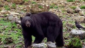 The Mighty Bears thumbnail