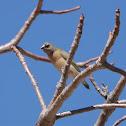 Gouldian Finch (Juvenile)
