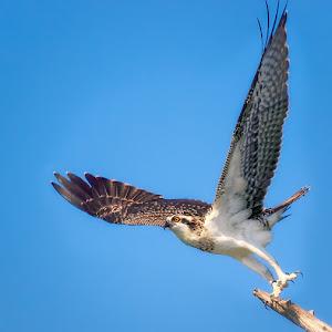 Young-Female-Osprey.jpg