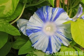 Photo: 拍攝地點: 春陽-可愛植物區 拍攝植物: 日本朝顏 溪流 拍攝日期:2013_07_24_FY