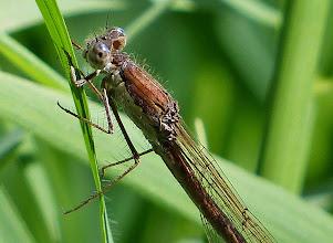 Photo: Gemeine Federlibelle (Platycnemis pennipes)? 2