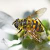 Dead Head Fly