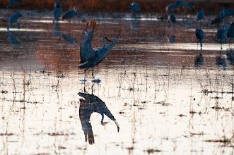 Photo: Sandhill crane landing at sunset