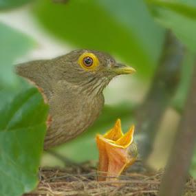 Bared eyed thrush and her babies by Melony Mejias - Animals Birds ( babies, nature, trinidad, wildlife, birds )