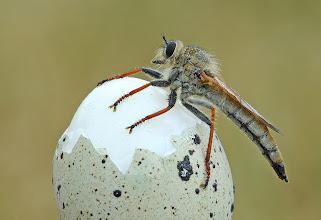 Photo: Haute Cuisine Asilus Sp.  http://lepidoptera-butterflies.blogspot.com/