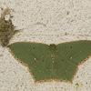 Emarald Moth