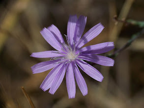 Photo: Lactuca tenerrima