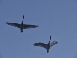 Photo: Priorslee Lake The two cygnets off for a long flight at dawn. (Ed Wilson)