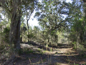 Photo: The upland areas adjacent to the river systems have some of the most magnificent oaks in the State.