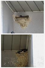 Photo: 撮影者:若狭 誠 ツバメ タイトル:ツバメの巣、補修中 観察年月日:2014年3月24日 羽数:4羽 場所:浅川・鶴巻橋下流 区分:繁殖4③ メッシュ:八王子5K コメント:定期カウントで観察。鶴巻橋下流左岸土手に面した事務所入口にツバメの古巣が3個あるが、そのうち2個にツバメが2羽づつ戻り巣の補修をしていた。早い造巣です。