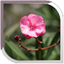 Oleander Live Wallpaper APK icon