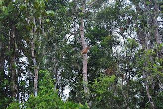 Photo: Scimmie con la proboscide
