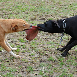 Playful Doggies by Jessica Rose - Animals - Dogs Playing ( dogs, lab, dog, playful, aussiedor,  )