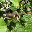 Wool-carder bee (male)