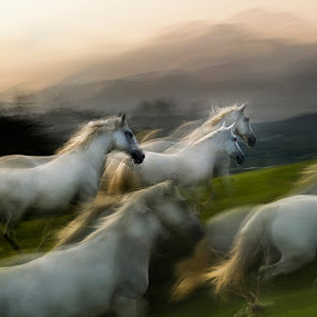 Over the hill by Milan Malovrh - Animals Horses ( lipicanci )