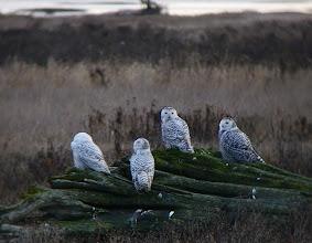 Photo: Snowy Owls at Boundary Bay, SW British Columbia.