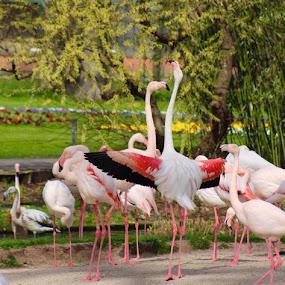 When life is hard, try interpretive dance by Tonia Hernandez - Animals Birds ( flamingo zoo pink bird stretching )