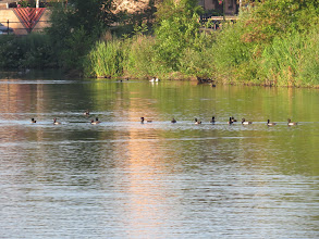 Photo: 15 Jul 13 Priorslee Flash: 14 of the 39 Tufted Duck at The Flash. (Ed Wilson)