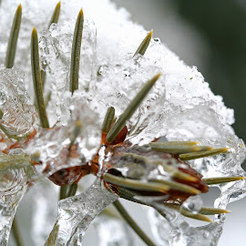 Frozen by Bill Diller - Nature Up Close Trees & Bushes ( pine tree, wintry, white, michigan, nature, snow, pine branches, frozen, winter, ice, pine needles )