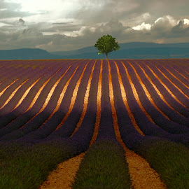 provence by Jurij Dolenc - Landscapes Travel ( nature, natural light, tree, clouds, lavender, national geographic )