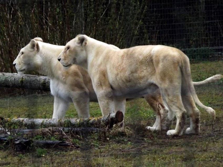 Lionnes blanches, Parc des Félins - Tous droits réservés