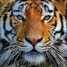 Tiger Portrait by Elke Krone - Animals Lions, Tigers & Big Cats ( tiger, katze, raubkatze,  )