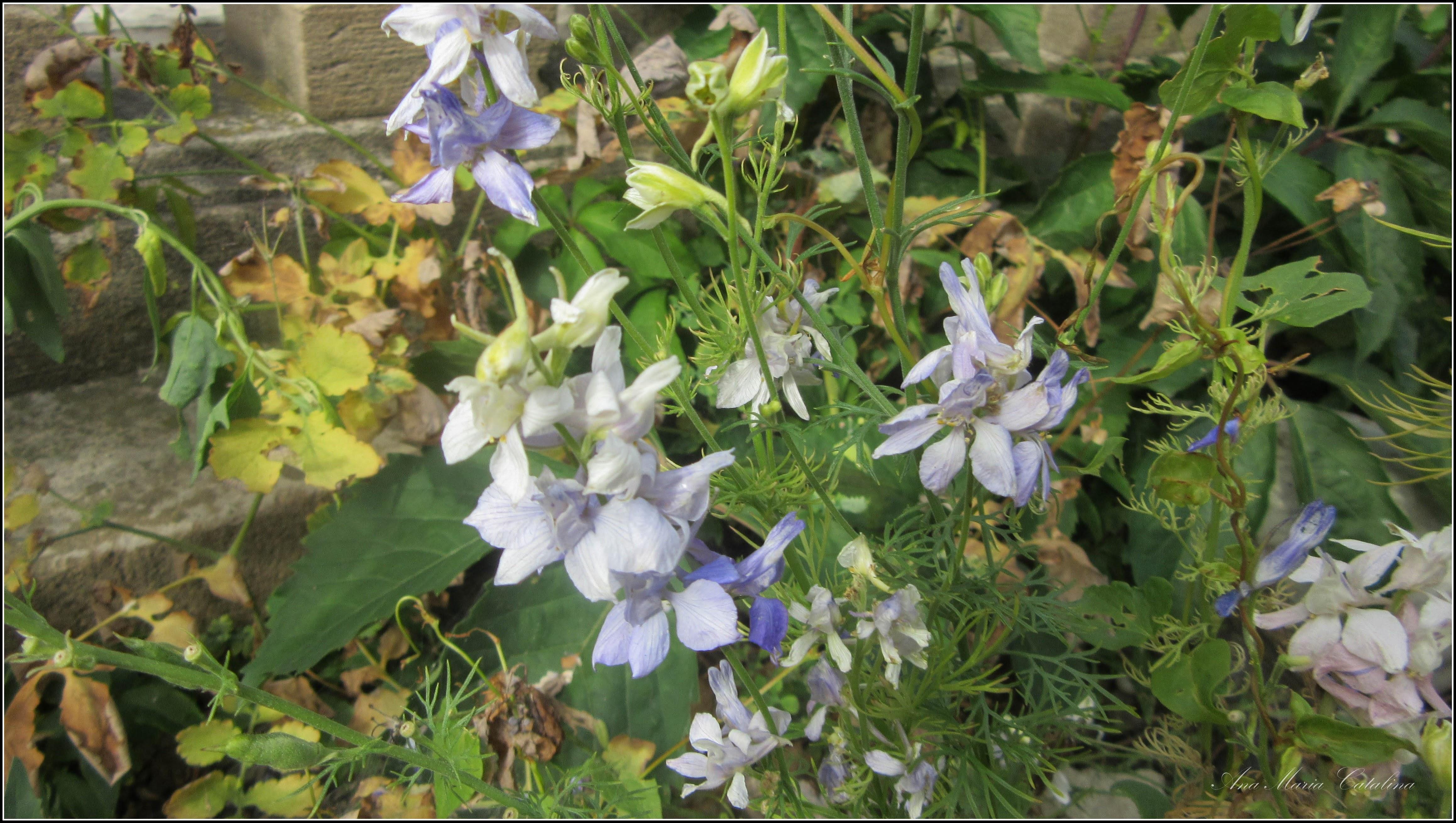 Photo: Rozmarin ( Rozmarinus officinalis) - din Cimitirul Crestin Central -  2017.07.05 album div. http://ana-maria-catalina.blogspot.ro/2017/05/plante-diverse-din-comert.html