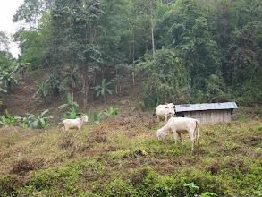 Photo: Cows and banana trees