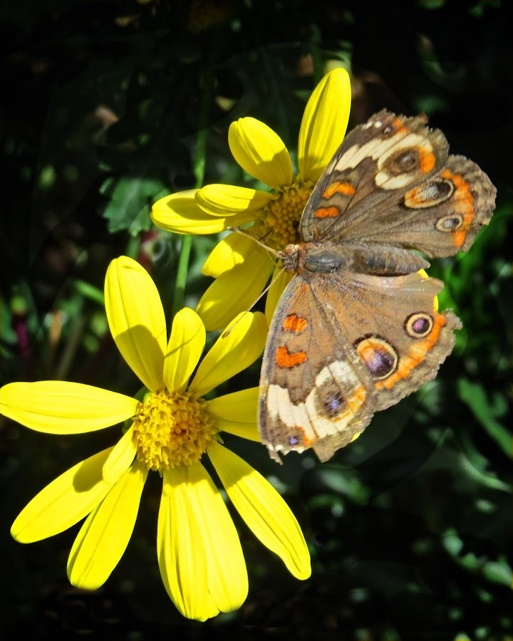 Butterfly on yellow by Nancy Young - Animals Insects & Spiders ( butterfly, flower,  )