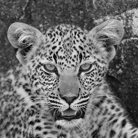 Leopard Cub by Anthony Goldman - Black & White Animals ( cub, leopard, safari, nature, south africa., londolozi, b & w, big cat, wild,  )