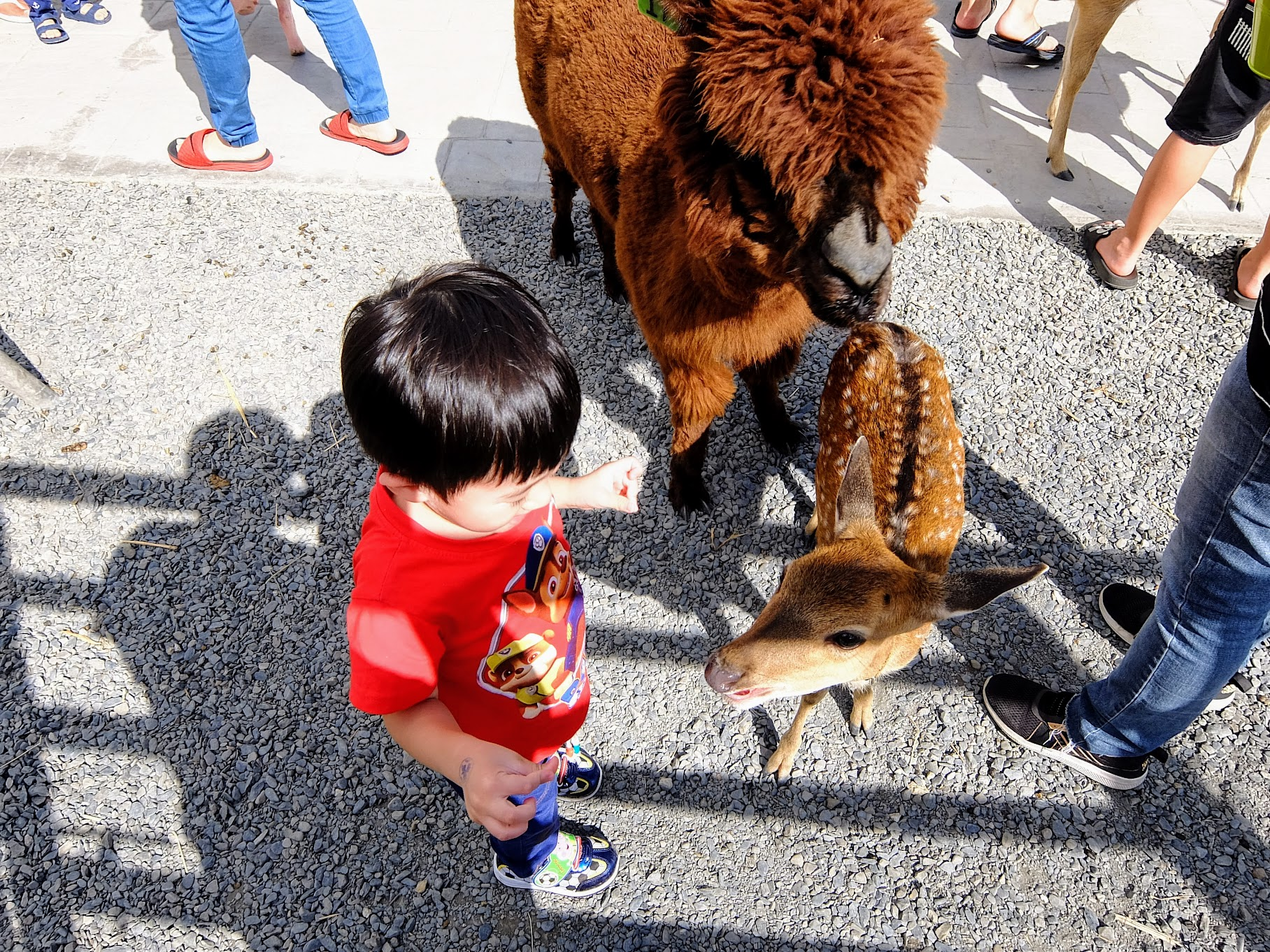 梅花鹿不大隻,小小的很受小孩歡迎