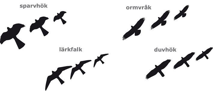 Rovfågelsiluetter