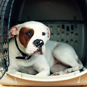 Bully by James Felix - Animals - Dogs Portraits ( bully, reina, cage, cute, dog )